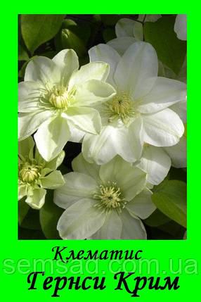 """Клематис """"Гернси Крим"""" \  Guernsey Cream ( саженец  р9 ), фото 2"""