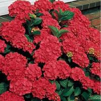 Гортензия Red Beauty