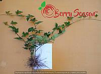 Ремонтантні Rubus fruticosus  3-х річні Loh Tay весна 2017