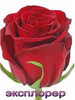 Шикарная красная роза с огромным  бутоном сорта Эксплорер , высота бокала 6 см, длина стебля 60 см