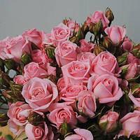 Роза спрей сорта Одилия