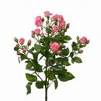 Роза спрей сорта Грация