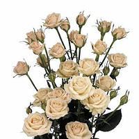 Роза спрей сорта Яна