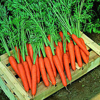 Семена моркови Престо F1 (Presto F1), 25000 сем. (> 2,00 мм)