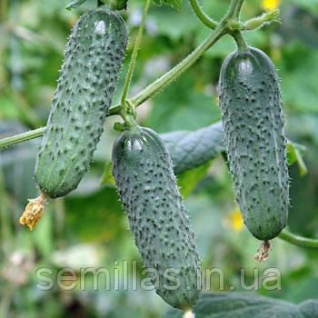 Семена огурец партенокарпический (самоопыляемый) Мадита F1 (Madita F1) 250 сем.
