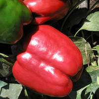 Семена перца сладкого Красный рыцарь F1 (Red knight F1) 500 сем.
