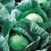 Семена капусты белокочанной средней Вестри F1 (Vestri F1) 2 500 сем.