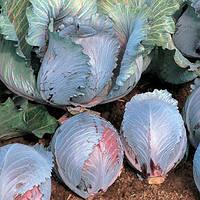 Семена капусты Рокси F1 (Roxy F1) 2 500 сем., краснокочанной