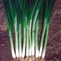 Семена лука на перо Грин Баннер  (Green Banner) 100 000 сем.