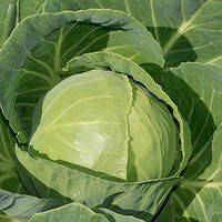Семена капусты белокочанной ранней Миррор F1 (Mirror F1) 2 500 сем.