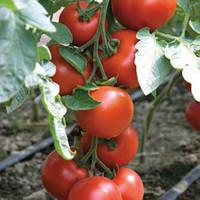 Семена томата красного индетерминантного (высокорослого) Бодерин F1 (Boderine F1) 500 сем.