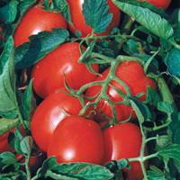 Семена томата для переработки Астерикс F1 (Asterix F1) 25 000 сем. (драж)
