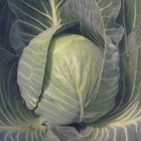 Семена капусты белокочанной средней Кастелло F1 (Castello F1) 2 500 сем. (калибр.)