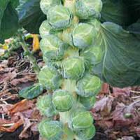 Семена капусты Бриллиант F1 (Brilliant F1), 2500 сем., брюссельской