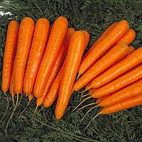 Семена моркови Лагуна F1 (Laguna F1) 25 000 сем. (1,8-2,0 мм)