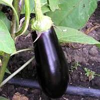 Семена баклажана Фабина F1 (Fabina F1), 50 гр.