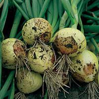 Семена лука репчатого озимого Свифт (Swift) 250 000 сем.