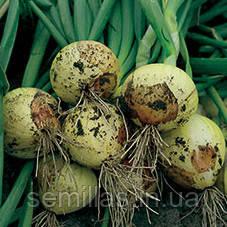Семена лука репчатого озимого Свифт (Swift), 250000 сем. (калибр)
