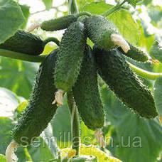 Семена огурец партенокарпический (самоопыляемый) Амур F1 (Amour F1) 250 сем.