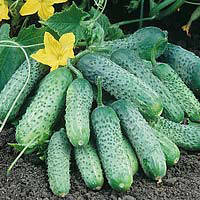 Семена огурец партенокарпический (самоопыляемый) Пасамонте F1 (Pasamonte F1) 500 сем.