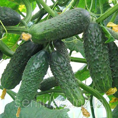 Семена огурца Сатина F1 (Satina F1), 1000 сем., партенокарпического (самоопыляемого)