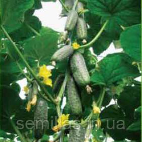 Семена огурца Чайковский F1 (Chaikovskiy F1), 250 сем, партенокарпического (самоопыляемого)