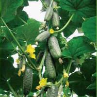 Семена огурца Чайковский F1 (Chaikovskiy F1), 1 000 сем, партенокарпического (самоопыляемого)