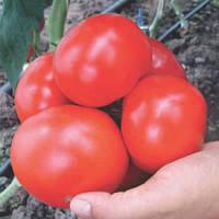 Семена томата Кларабелла F1 (Clarabella F1), 100 сем. красного индетерминантного (высокорослого)
