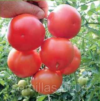 Семена томата Лилос F1 (Lilos F1), 1000 сем., красного индетерминантного (высокорослого)