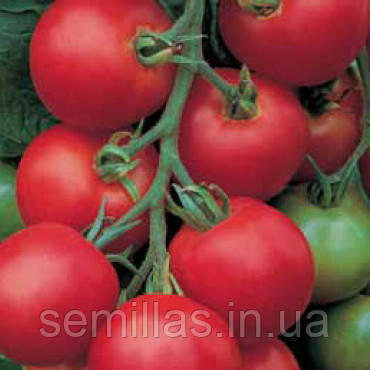 Семена томата красного индетерминантного (высокорослого) Толстой F1 (Tolstoy F1) 5 гр.