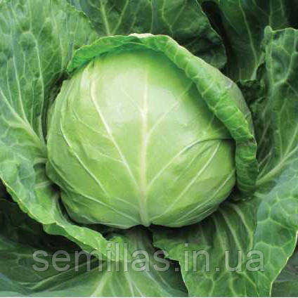 Семена капусты белокочанной ранней Анадоль F1 (Anadol F1) 2 500 сем.