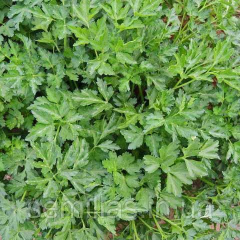 Семена петрушки листовой Риалто (Rialto) 50 гр.