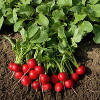 Семена редиса Рудольф (Rudolf) 500 гр.