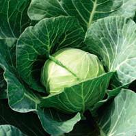 Семена капусты белокочанной ранней Камбрия F1 (Cambria F1) 2 500 сем.