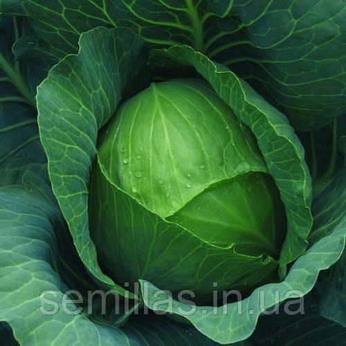 Семена капусты белокочанной средней Бронко  F1 (Bronco F1) 2 500 сем.