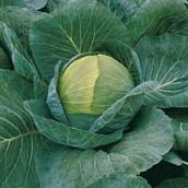 Семена капусты белокочанной средней Краутман F1 (Krautman F1) 2 500 сем.