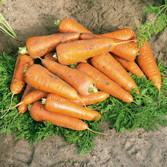 Семена моркови Кантербюри F1 (Canterbury F1) 100 000 сем. (2,2-2,4 мм)