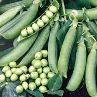 Семена гороха овощного Преладо (Prelado) 100 000 сем.