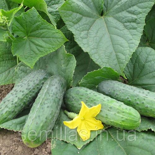Семена огурца Спарта F1 (Sparta F1), 500 сем., женского типа цветения