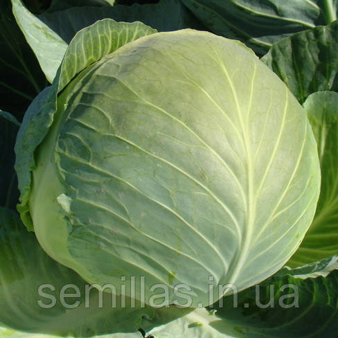 Семена капусты Бригадир F1 (Brigadier F1), 2500 сем., белокочанной поздней