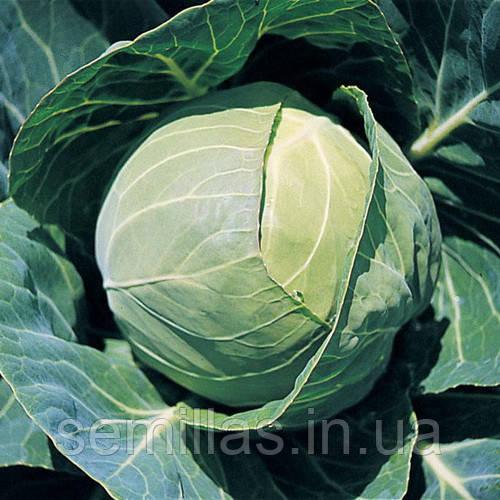 Семена капусты Капорал F1 (Kaporal F1), 2500 сем., белокочанной средней