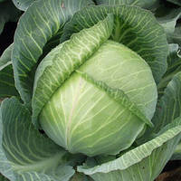 Семена капусты белокочанной поздней Мандарин F1 (Mandarin F1) 10 000 сем. (калибр.)