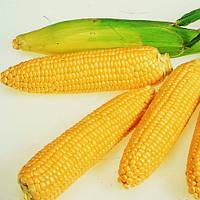 Семена кукурузы Леженд F1 (Legend F1), 10 кг., сахарной