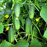 Семена огурца Роял F1 (Royal F1), 100 гр., женского типа цветения
