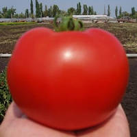 Семена томата  Багира F1 (Baghera F1), 50 гр., детерминантного (кустового)