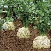 Семена сельдерея Президент (President), 10000 сем., корневого