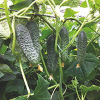 Семена огурца партенокарпического (самоопыляемого) Сигурд F1 (Sigurd F1) 500 сем.