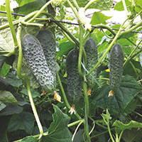 Семена огурец партенокарпический (самоопыляемый) Сигурд F1 (Sigurd F1) 500 сем.