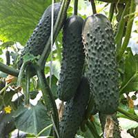 Семена огурца партенокарпического (самоопыляемого) Седрик F1 (Cedrik F1) 500 сем.