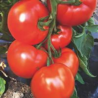 Семена томата красного индетерминантного (высокорослого) Белфорт F1 (Bellfort F1) 500 сем.